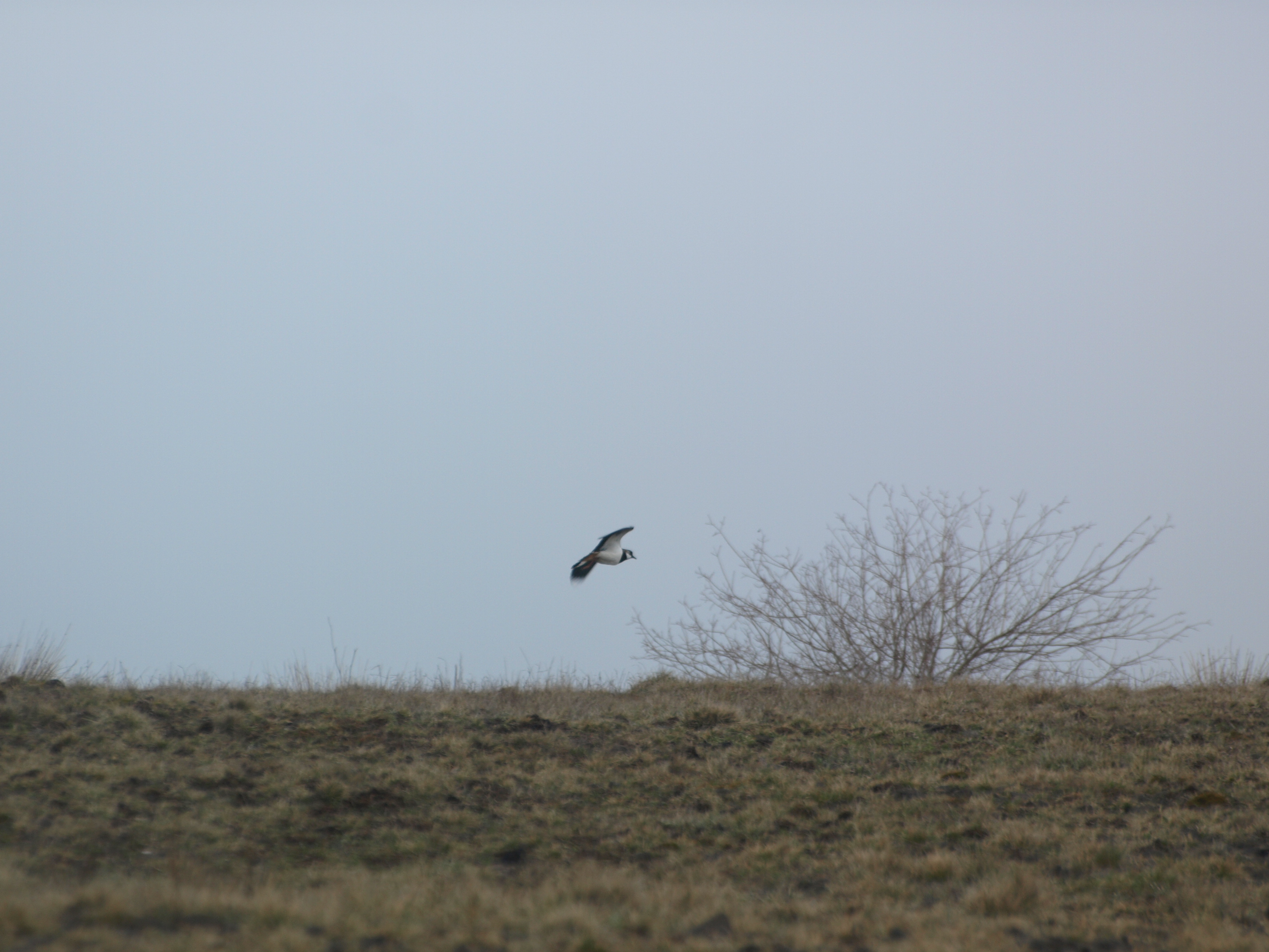 One of the Lapwings takes to the air.